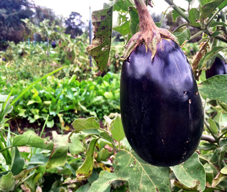 single eggplant on tree